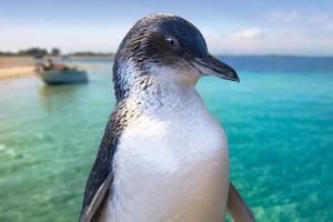 Full-Day Penguin Island  Fremantle Town - Accommodation in Surfers Paradise