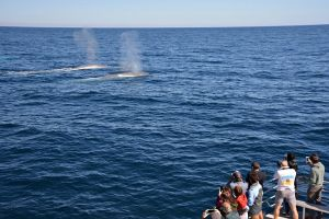 Blue Whale Perth Canyon Expedition - Accommodation in Surfers Paradise
